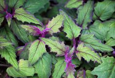 Growing purple passion houseplants offers an unusual and attractive houseplant for the brightly lit indoor area. Find growing information and care in the following article.