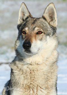 Kony, a 10 years old Czechoslovakian wolfdog. Unique Dog Breeds, Rare Dog Breeds, Animals And Pets, Cute Animals, Czechoslovakian Wolfdog, Saarloos, Wolf World, Dog Jokes, Beautiful Wolves