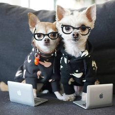 "1,369 Likes, 22 Comments - #chihuahua Island (@chihuahuaislander) on Instagram: ""Back to work vibe from @ellabeanthedog - beans on that 2018 grind. #youbetterwerk #backtowork…"""