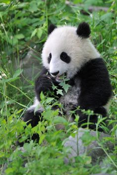 does not taste like bamboo... by . Giant Panda