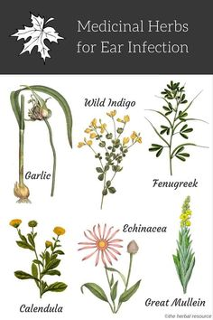 natural holistic remedies herbs for ear infections - Information on the Health Properties, Dosage, Benefits and Side Effects of Medicinal Herbs Used as Herbal Remedies for Ear Infections Holistic Remedies, Natural Health Remedies, Herbal Remedies, Acne Remedies, Cough Remedies, Healing Herbs, Medicinal Plants, Herbal Plants, Natural Herbs