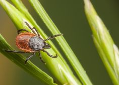 Ticks and Pets: How to Spot, Remove and Avoid Them Altogether. The best way to deal with ticks is to prevent them from getting on your pet in the first place. Take these precautions to help keep ticks off dogs and cats. Tick Bite, Pest Management, Lyme Disease, Quites, How To Protect Yourself, Pest Control, Tick Control, The Great Outdoors, Good To Know