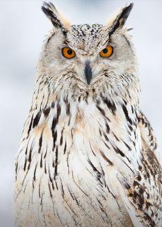 Eagle owl    (Photo by Milan Zygmunt)