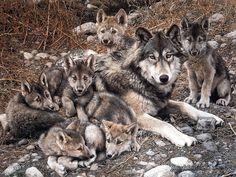 Planeta Animal : Lobo