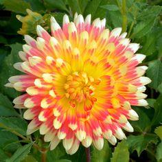 DAHLIA 'Gudosnik' (Dahlia cactus) : Vivaces originaires du Mexique et d'Amérique centrale. Les différentes formes de fleurs et leurs sublimes coloris font du Dahlia un complément de décor indispensable aux massifs d'été et d'automne. Planter dans un sol riche et bien drainé, enterrer le tubercule sous 10 à 15 cm de terre. Dahlia cactus (fleurs doubles, longs pétales étroits et pointus, récurvés sur plus de la moitié des ligules). Fleurs orange et jaune.