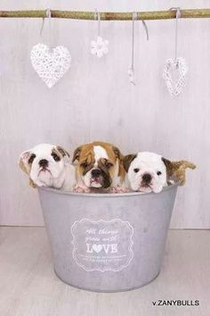 #English #bulldog trio