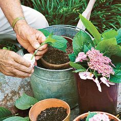 Rooting Hydrangeas. Use sharp clippers to take cuttings about 6 inches down from the tip of the stem; then remove the lowest pair of leaves. Wet  ends of cut stems, and dip into a rooting powder, such as Rootone, following the instructions on the label.  Stick each cutting in moist potting soil, and place the pot in a shady location. Keep soil slightly moist.  Cuttings root in 6-8 weeks.