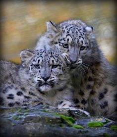 ~~Ouch - that's my ear !!! ~ Marwell Snow Leopard Cubs by Wendy Salisbury~~