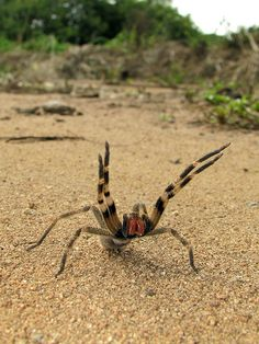 Brazilian wandering spider - I would love to have one but they are illegal here I'm sure.  Plus I don't think I would have enough time to wait on anti venom here in KY cause I'm sure they don't have it on hand.