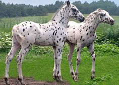 Leopard Appaloosa foals. And one of them looks pissed.