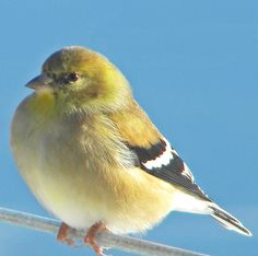 Goldfinch~cl