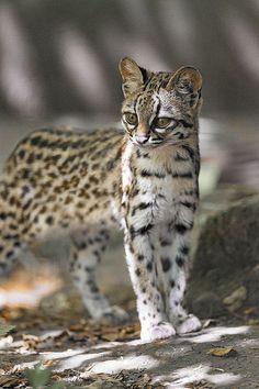 Oncilla (Leopardus tigrinus) by Tambako the Jaguar