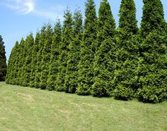 "Thuja Green Giant The Fastest Growing Quality Evergreen The Thuja Green Giant quickly gives you a lush, rich privacy screen feet per year once established). ""Quickly screen out neighbors or unsightly areas.without taking up a lot of yard space. Evergreen Trees For Sale, Privacy Plants, Shade Trees, Green Giant Arborvitae, Evergreen, Fast Growing Trees, Growing Tree, Thuja Green Giant, Emerald Green Arborvitae"