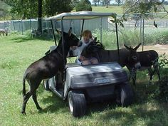 """Let's ride with Mom!"" Courtesy: Hickory Hill Donkey Farm. Flynn, Texas (USA)."