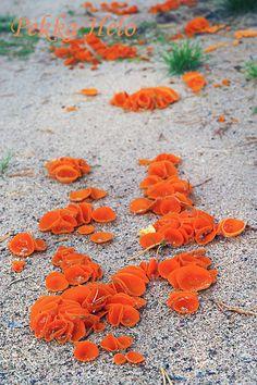 Oranssimaljakas, Orange Peel Fungus, Aleuria aurantiaca - Kainuun Luontokuvat