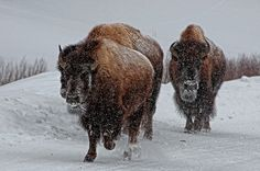 Yellowstone Bison; photo by DBushue Photography