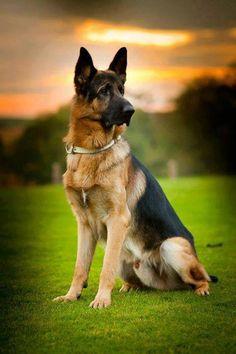 German shepherd -Alicia