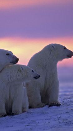 Twilight Polar Bears