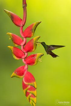 Rufous-tailed Hummingbird by Christian Sanchez on 500px