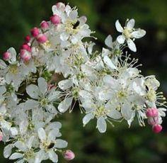 Filipendula vulgaris - Kleines Mädesüß (VI-VII Höhe 15-40cm Z3) - Liebt einen sonnigen und trockenen Standort. In der Natur ist sie auf kalkhaltigen, lehmig-humosen Halbtrockenrasen und Steppen sowie an warmen Gebüschrändern