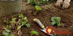 Toto poraďte každému záhradkárovi: O takej úrode jahôd sa vám ani nesnívalo! Garden Trowel, Garden Hose, Garden Tools, Outdoor Power Equipment, Strawberry, Apollo, Gardening, How To Plant Strawberries, Compost