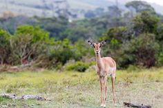 Impala buck standing still and watching you Impala buck standing still in the field and watching you.