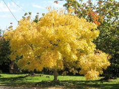 Golden Elm - the blossoms are yellow green and very beautiful too. (front of Lindy's house) -  Ulmus glabra 'Lutescens' by Flemings Nurseries.