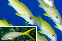 Reef Fish Identification Guide - 20 Common Species of Florida and the Caribbean: Yellow Goatfish and Yellowtail Snapper