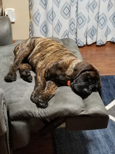 """The breed is commonly referred to as the """"Mastiff"""". Also known as the English Mastiff this giant dog breed gets known for its splendid, good natu Brindle Mastiff, Mastiff Breeds, Mastiff Dogs, Tibetan Mastiff, Bullmastiff, Giant Dog Breeds, Giant Dogs, Rottweiler, English Mastiff Puppies"""