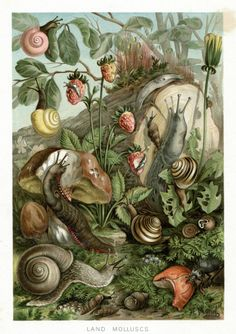 1895    From  The Royal Natural History - Richard Lydekker    Type  Chromolithograph on ebay