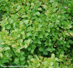 Trade Winds Fruit - Vaccinium myrtillus - Bilberry, $2.00 (http://www.tradewindsfruit.com/vaccinium-myrtillus-bilberry-seeds)