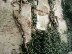 old vines - Google Search