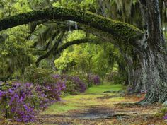 Coast Live Oaks and Azaleas Blossom, Magnolia Plantation, Charleston, South Carolina, USA Photographic Print