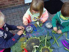 "Exploring sunflowers & beans at Cathy's Childminding ("",) Nature Activities, Kids Learning Activities, Preschool Science, Summer Activities, Reggio Classroom, Classroom Organization, Classroom Ideas, School Play, Pre School"