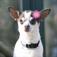 Meet Pixie NewEngland a Petfinder adoptable Chihuahua Dog | Providence, RI | Adoption donation $199.00, Located in New EnglandAGE: 7-8 years old, WEIGHT: 11 poundsUp to date on...