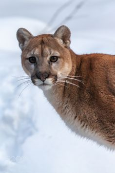 Cougar, Mountain Lion, Mountain Cat, Puma, & Screamer; no Matter What the Name, This American Big Cat is Still Legally Being Hunted; One of the Reasons This Handsome Big Cat Has Been Declining in Numbers. The Wolf is Now Protected, Why Not the Cougar? This is Our American Big Cat. It's High Time we Did Something!