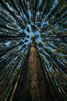 Looking up through the trees #tree