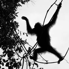 Photo by Tim Laman. Orangutan silhouette walking across vines. You don't see orangutans walking upright in a bipedal position very often, but they can do it, and it is hard to believe some of the small vines and branches they can use to cross between trees. Here Walimah pulls of a tricking crossing between trees. Sent from Instagram @natgeo @timlaman