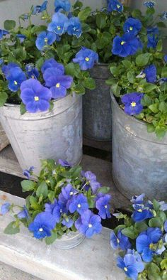 Galvanized planters/blue flowers