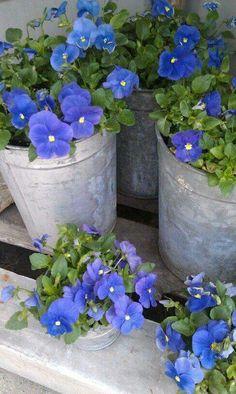 Galvanized planters/blue flowers