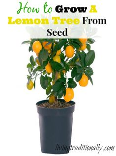 1000 images about gardening lemon trees on pinterest for How to get lemon seeds to grow