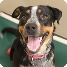 #ILLINOIS ~ Meet Tasha a sweet Shepherd mix who just arrived at A.D.O.P.T. from a high kill shelter in southern Illinois. Come visit this gal who has a smile as big as all outdoors today at A.D.O.P.T  420 Industrial Drive  #Naperville IL 60563  dogquestions@adoptpetshelter.org  Ph 630.355.2299