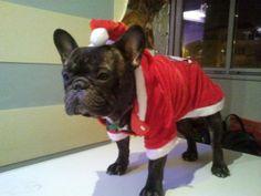 Frenchie Santa Claus...  https://www.facebook.com/mirela.tudoran.77?hc_location=stream