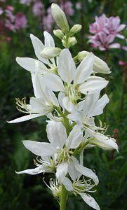 Dictamnus albus 'Albiflorus' - Diptam, Brennender Busch
