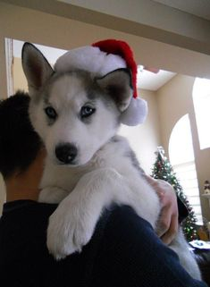 All I want for Christmas is a husky puppy, just like this one :-) @Julie Weaver