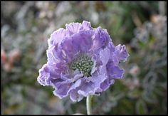Pincushion Flower  http://fishtailcottage.blogspot.com/2011/12/first-day-of-frost.html