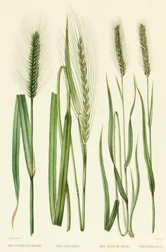 Barley French Antique Botanical Print