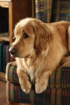 Astonishing Everything You Ever Wanted to Know about Golden Retrievers Ideas. Glorious Everything You Ever Wanted to Know about Golden Retrievers Ideas. Golden Retrievers, Chien Golden Retriever, Labrador Retrievers, Beautiful Dogs, Animals Beautiful, Cute Animals, Cute Puppies, Cute Dogs, Dogs And Puppies