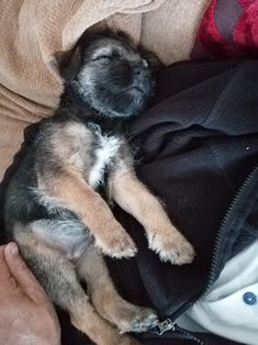 Cute Boarders, Border Terrier Puppy, Jack Russells, Raining Cats And Dogs, Little Brown, Brown Dog, Puppys, Kitty Cats, Dog Stuff