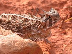 Look who it is? It's the horny toad (Texas Horned Lizard).
